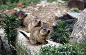 Marmotes