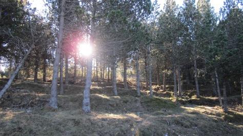 La pista travessa el bosc que, en aquesta zona, és plantat. Encara es poden apreciar les feixes que ICONA va fer per a la plantació.