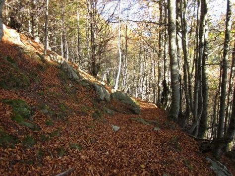 El bosc de pins es torna fageda. Si heu triat la tardor per fer aquesta ruta, aprofiteu l'explosió de colors!!!